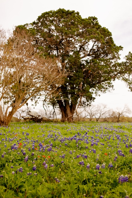 @ Photographer Amy Elizabeth Birdsong Photography Texas Bluebonnet family portrait location photographer-1