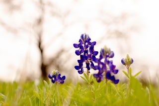 @ Photographer Amy Elizabeth Birdsong Photography Texas Bluebonnet family portrait location photographer-4